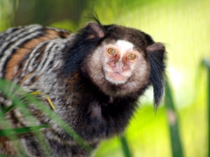baby-penicillata-monkey