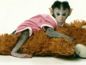 monkey-for-sale-0002