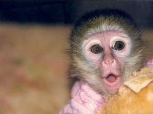 monkey-for-sale-0003