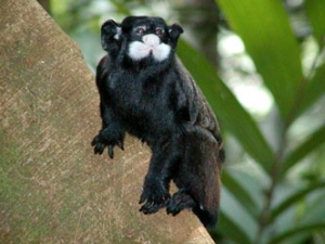 white-mustached-tamarin