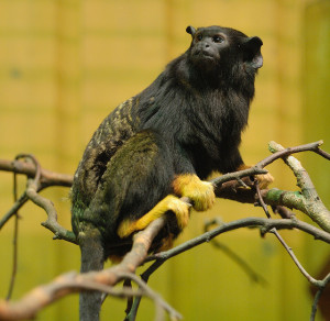 Red-Handed-Tamarin